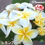 プルメリア苗 : 予約商品 6月より発送 / LemonIce レモンアイス 5号鉢 スタンダード品種