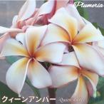 プルメリア苗 : 予約商品 6月より発送 / QueenAmber クィーンアンバー 5号鉢 スタンダード品種