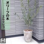 コンパクト樹形 オリーブの木 6号 ロング陶器鉢 【送料無料※沖縄・離島は除く】【オリーブの木】