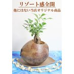 ヤシの実 オリジナル観葉 ガジュマル 多幸の木