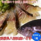 夏のイサキ(いさき)は鯛より旨い!愛媛県八幡浜産もしくは大分県産 関いさき500g(4〜5人前)