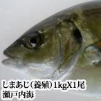 瀬戸内海産しまあじ(養殖)1kg(シマアジ、沖アジ、養アジ)