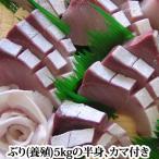 ぶり 約5kgの半身 カマ半分付き(養殖 鹿児島産もしくは瀬戸内産)( ぶり 鰤 )