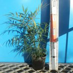 ナリヒラヒイラギナンテン 12cmポット苗