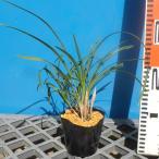 春蘭 (野生種) 10.5cmポット苗