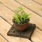 緑が鮮やかで小さい葉がたくさん茂る オロシマチク(於呂島竹)3.5号盆栽3