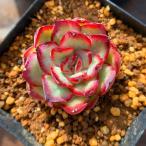 農園直売 多肉植物 エケベリア属 寄せ植え メキシカンゴースト 抜き苗 観葉植物 インテリア