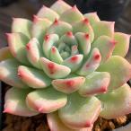 農園直売 多肉植物 寄せ植え エケベリア属 AKマリア 可愛い 抜き苗 観葉植物 インテリア