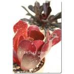 カシミアバイオレット 2寸ポット アエオニウム 弁慶草科 多肉植物 根付苗 多肉激安 あえおにうむ苗 可愛い多肉植物