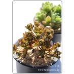 小人の花束 2寸ポット アエオニウム 弁慶草科 多肉植物 根付苗 多肉激安 あえおにうむ苗 可愛い多肉植物
