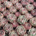 シルエット  2寸ポット 韓国苗 エケベリア 弁慶草科 多肉植物 苗 新築祝 新築祝 誕生日祝 開店祝 結婚式祝