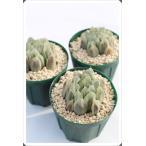 白水晶 ハオルチア ススキノ科 珍しい多肉植物 苗 敬老の日 新築祝 誕生日祝 開店祝 結婚式祝