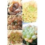 ハオルチアセット5種 多肉植物のセット