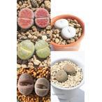 リトープスセット5種 多肉植物のセット
