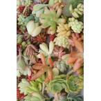 多肉植物アレンジ専用カット苗セット35個 多肉植物カット苗販売 リース,タブロー専用カット苗通販