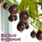 緑のカーテン きれいなお花 甘い果実 3拍子揃った パッションフルーツ (クダモノトケイソウ) 赤玉種 さし木苗 3.5寸 ロングポット