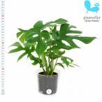 観葉植物 ハイドロカルチャー 苗 ヒメモンステラ Lサイズ 9パイ 3寸