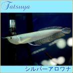 シルバーアロワナ 10cm前後 1匹 古代魚