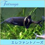 エレファントノーズ 10cm前後 2匹 古代魚