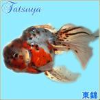 東錦(埼玉) 10匹 金魚