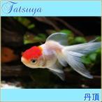 丹頂(弥富) 10匹 金魚
