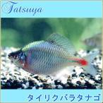 タイリクバラタナゴ 10匹 川魚