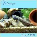 ヨシノボリ 10匹 川魚