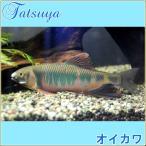 オイカワ 10匹 川魚