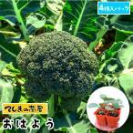 てしまの苗 ブロッコリー苗 おはよう  4株入りパック 葉菜苗 人気