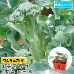 てしまの苗 茎ブロッコリー苗 スティックセニョール 4株入りパック 葉菜苗 人気