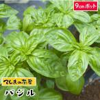 てしまの苗  コンパニオンプランツ バジル 実生苗 9cmポット 人気 野菜苗
