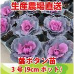 葉牡丹 葉ぼたん苗 3号(9cmポット)寄せ植え、ハンギング、ガーデニングに 選べる5色 ハボタン