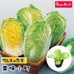 【生産農場直送】ミニハクサイ苗  黄味小町   9cmポット 白菜 葉菜苗 【人気】