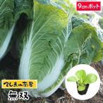 【生産農場直送】ハクサイ苗  無双   9cmポット 白菜 葉菜苗 【人気】