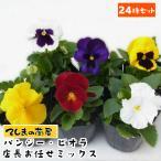 24鉢セット パンジー・ビオラ花色は店長お任せミックス 3号(9cmポット)苗