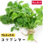 生産農場直送 H29年4月上旬より順次発送 1株 コリアンダー 実生苗 9cmポット10P12Oct15野菜苗