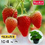 ショッピング苗 【秋植えイチゴ苗】 紅ほっぺ 9cmポット 【人気】