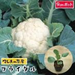 てしまの苗 カリフラワー苗 ブライダル 9cmポット 葉菜苗  人気