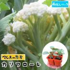 てしまの苗 カリフラワー苗 カリフローレ 4株入りパック 葉菜苗 人気