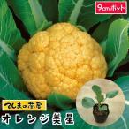 【生産農場直送】カリフラワー苗 オレンジ美星 9cmポット 葉菜苗【人気】