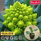 【生産農場直送】カリフラワー苗 ロマネスコ 9cmポット 葉菜苗  【人気】