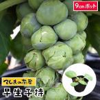 早生子持キャベツ苗 9cmポット 野菜苗 ガーデニング 家庭菜園 10P12Oct15芽キャベツ