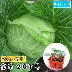 金系201号 4株入りパック キャベツ苗 野菜苗 ガーデニング 家庭菜園 10P12Oct15