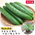 てしまの苗 キュウリ苗 うどんこ病につよいキュウリ 断根接木苗 9cmポット 野菜苗 人気