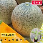 てしまの苗 メロン苗 レノンウェーブ 断根接木苗 9cmポット 野菜苗 人気