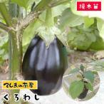 てしまの苗 米ナス苗 くろわし 断根接木苗 9cmポット 野菜苗 人気