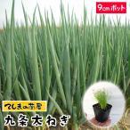 【生産農場直送】ネギ苗 九条太ねぎ  9cmポット  葉菜苗 【人気】