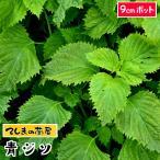 てしまの苗  青ジソ 実生苗 9cmポット 人気 野菜苗