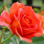 ショッピングバラ バラ4号鉢 フォーエバーローズ ダークサンレモ花・蕾付きポットローズ