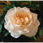 バラ4号鉢 ミニバラフォーエバーローズ フジサン花・蕾付きポットローズ
